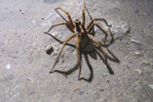 Tikal Spider