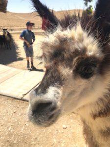 alpacas, negev desert
