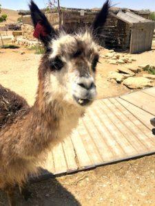 alpacas negev desert