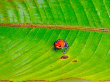 Costa Rica, Blue Jean Frog