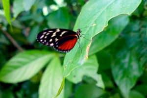 El Valle Butterfly Farm, Panama
