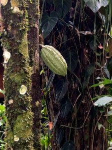 Cacao seed, Peru