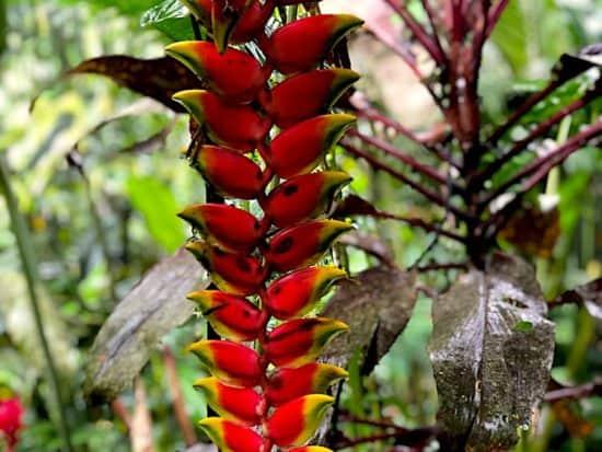 Birds of Paradise, Peru