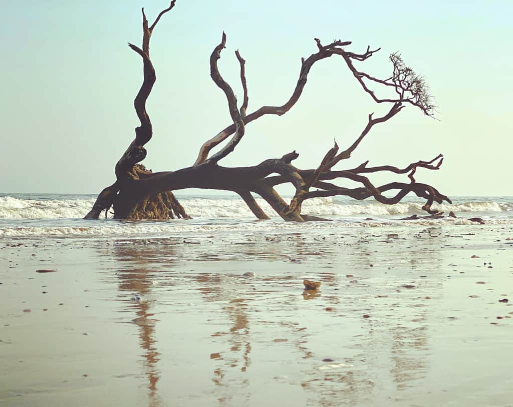 skeletal remains of a live oak tree lying on the beach