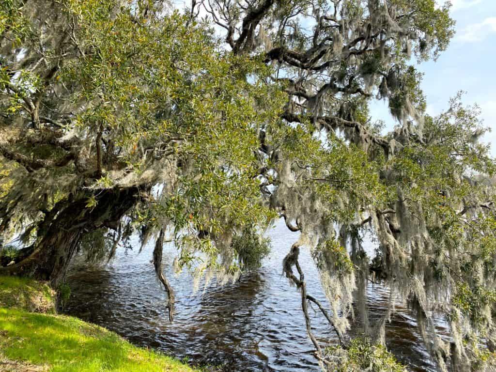 Large live oak on plantation