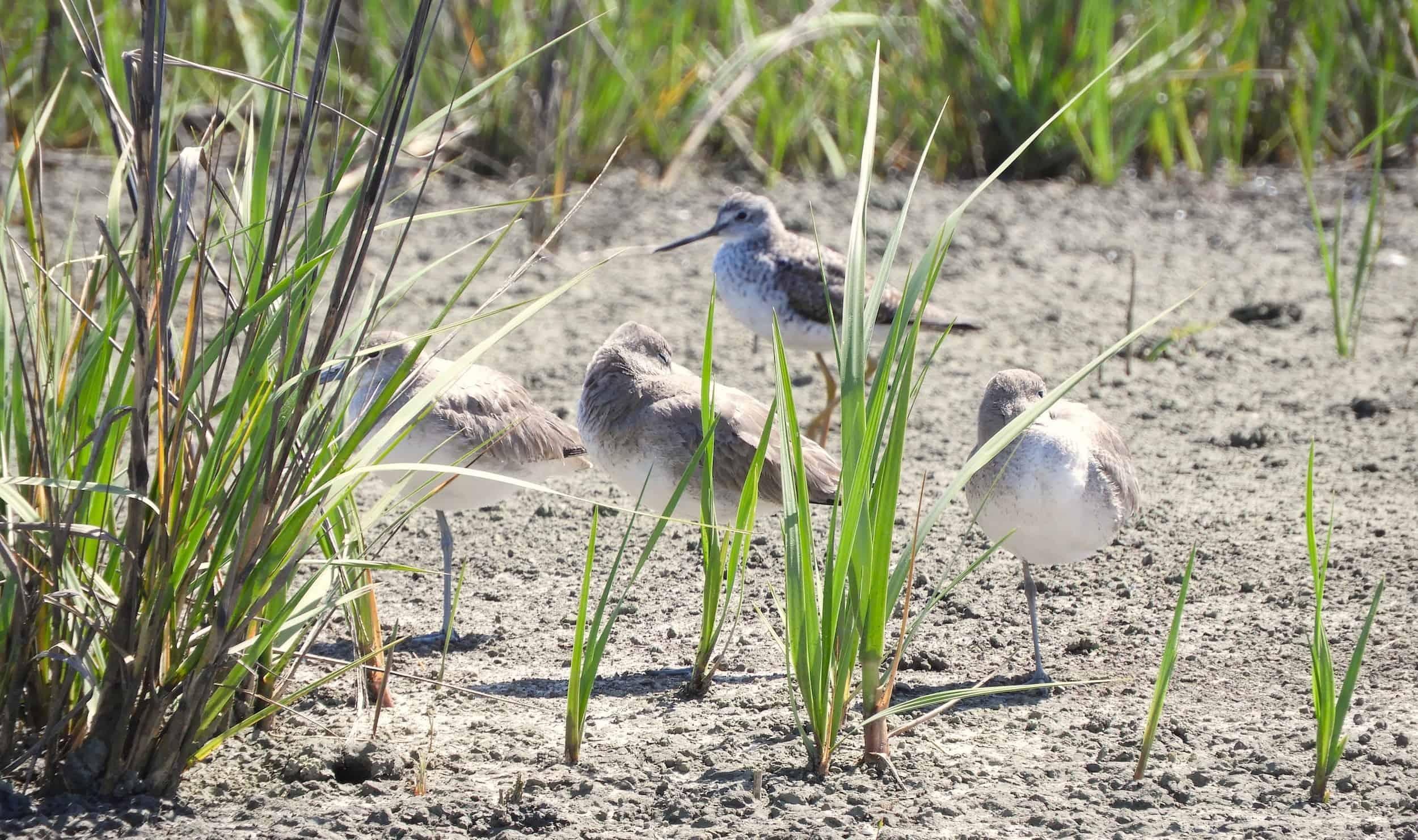 migratory birds on Edisto Island
