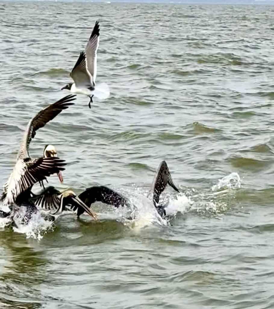 pelicans and sea gull in ocean